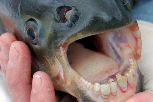 مشاهده یک ماهی عجیب با دندان هایی شبیه به انسان!