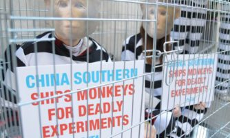 ۲۰۱۴: با اعتراضات جهانی توسط PETA خطوط هوایی چین شرقی اعلام کردند که انتقال نمونه های زنده برای آزمایشگاه هایرا در تمام پروازهای خود متوقف کرده اند