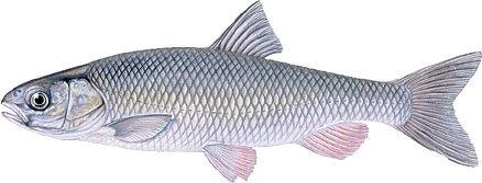 کشف ژن دو گونه باکتریایی از دستگاه گوارش ماهی سوف سفید