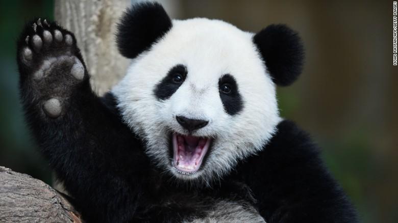 خوب و بد محیط زیست:نجات پاندای دوستداشتنی از انقراض/بزگترین پستاندار در معرض انقراض