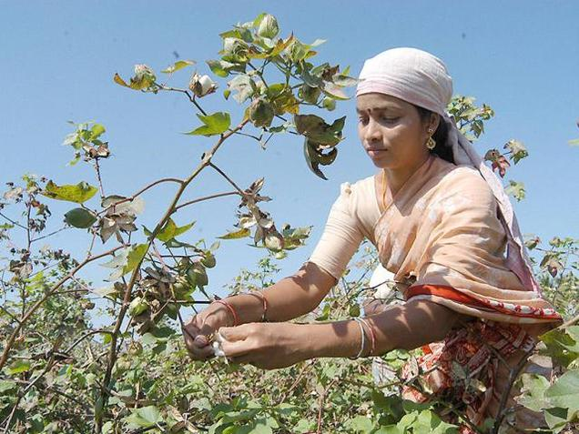 ۲۴۰ برابر شدن سطح زیر کشت پنبه هند با فناوری تراریخته