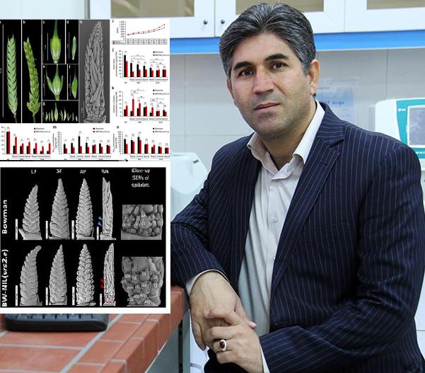 کشف ژنی جدید در گیاه جو با همکاری محققان ایرانی