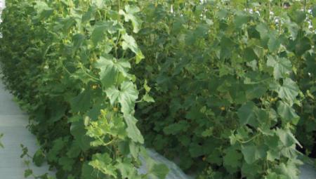 دستیابی محققان ایرانی به پروتکل فناوری تولید بذرهای هیبرید سبزیجات به روش اصلاح معکوس