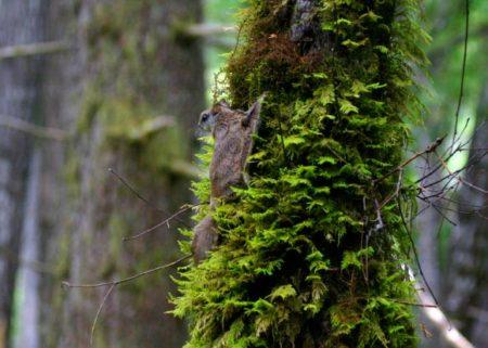 شناسایی گونه جدیدی از سنجاب پرنده در آمریکا