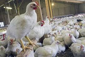 تولید نسل جدید واکسن نیوکاسل فوق حاد پرندگان با ۶ پروژه ویژه