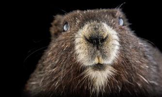گشتی در آلبوم حیوانات در معرض انقراض