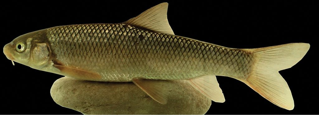 کشف و ثبت جهانی گونه جدید سیاه ماهی با نام «رازی» توسط محققان دانشگاه تهران