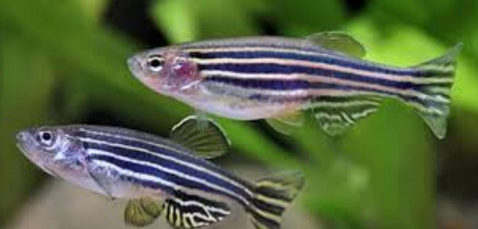 تولید ماهیهای تراریخته مدل بیماری ها در ایران