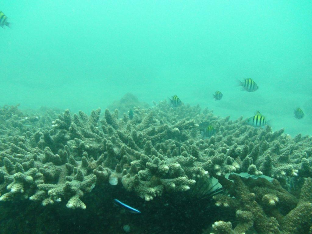 مرجان های شاخ گوزنی جزیره هندورابی هم استرس گرفتند