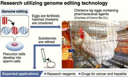 مرغ هایی که تخم ضدسرطان می گذارند!