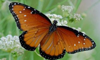 پروانه های زیبای دشتهای آمریکا