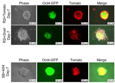 دستاورد محققان رویان در کشف ژنهای کلیدی در ایجاد سلولهای بنیادی جنینی