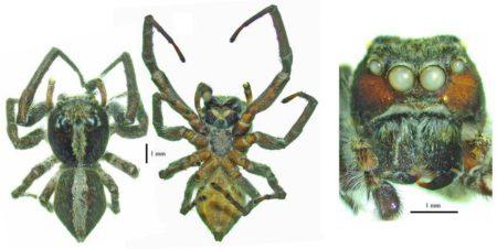 کشف گونه جدید عنکبوت توسط محققان کشور/ثبت جهانی گونه ناشناخته به نام کوه «دنا»