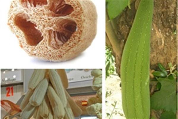ساخت نخستین کاغذ از الیاف گیاه لیف توسط پژوهشگران کشور