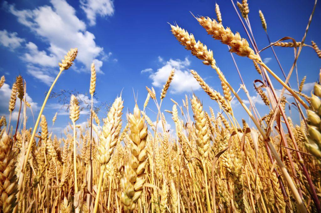 تولید گندم تراریخته بدون گلوتن برای مبتلایان سلیاک