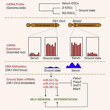 موفقیت محققان رویان در شناسایی میکروRNAهای کلیدی سلولهای بنیادی جنینی