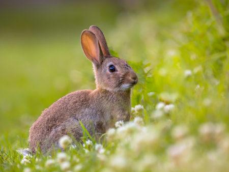 با همکاری محقق ایرانی دانشگاه اپسالا انجام شد: شناسایی ژنتیک اهلی سازی خرگوش ها/ بررسی درمان فوبیا در انسان با یافته های تحقیق