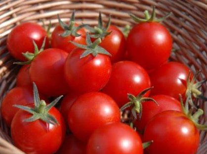 تولید گوجه فرنگی تراریخته در ترکیه