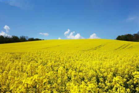 کلزای تراریخته، نخستین منبع گیاهی امگا ۳، مجوز گرفت