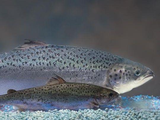 تولید نخستین ماهی تراریخته با مصرف غذایی در کانادا