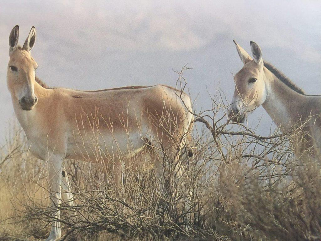 بازگشت گور خر ایرانی به پارک ملی کویر پس از ۳۳ سال