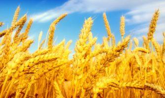 تولید گندم تراریخته با عملکردی ۱۱ درصد بیش از ارقام معمولی