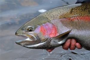 توسط محققان ایرانی گزارش شد: کشف بیماریزایی یک باکتری در ماهیان