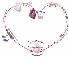 در پژوهشگاه رویان انجام شد: تولید قلب تپنده از سلولهای پیشساز قلبی-عروقی