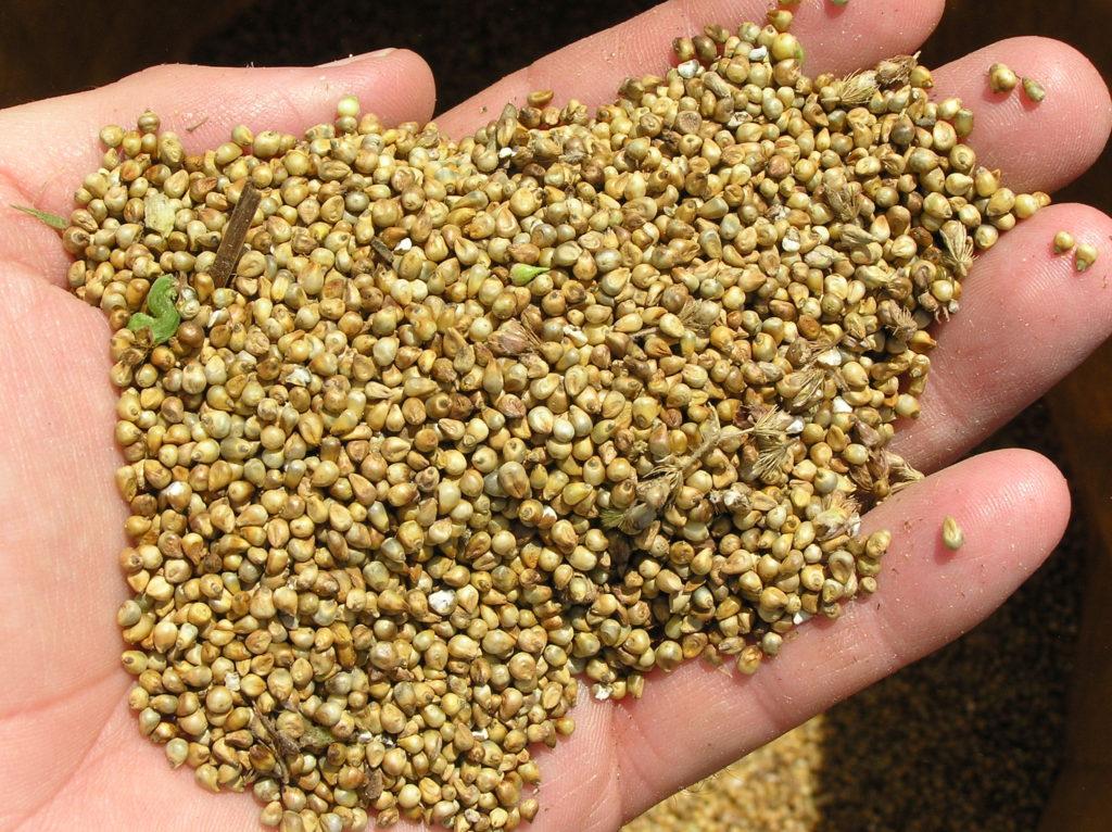 جایگزینی گیاهان علوفه ای پُرآب بَر کشور با ارزن و سورگوم