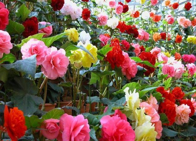 محبوبترین گل ها در بازار ۵۰۰ میلیون دلاری گل ایران کدام اند؟/ ایرانی ها سالی ۶۰ هزار تومان صرف خرید گل می کنند!