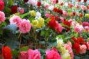 گل زینتی رز