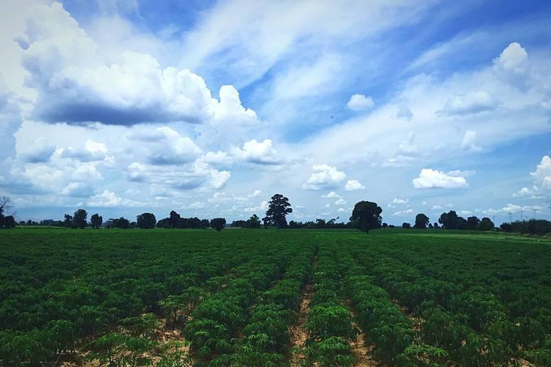 تولید کاساوای تراریخته مقاوم به ویروس در کنیا