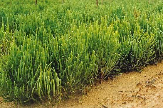 شیرینی کام کشاورزان با «نمک سبز»/ دانش فنی کشت سالیکورنیا به بخش خصوصی منتقل شد
