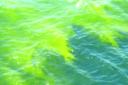 کشند سبز