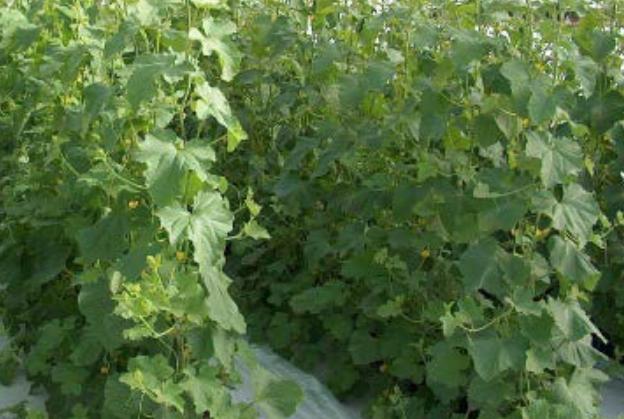 با تلاش پژوهشگران بیوتکنولوژی کشاورزی محقق شد: میلیون ها دلار صرفه جویی ارزی با خودکفایی در تولید بذرهای هیبرید سبزیجات