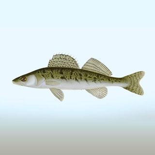 اهلیسازی ماهی سوف سفید با هدف تأمین مولدین بازسازی ذخایر در کشور