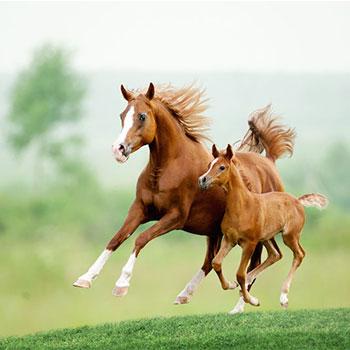 لغو تبصره واگذاری هویت بخشی اسب ورزشی به وزارت ورزش/ تهیه بانک اسپرم و دستورالعمل رکوردگیری گاو سیستانی