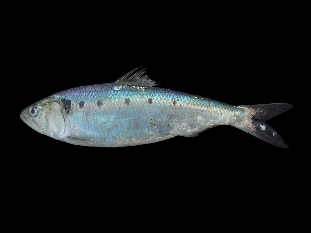 غلظت جیوه در شگ ماهیان جنس Alosa در سواحل جنوبی خزر بررسی شد