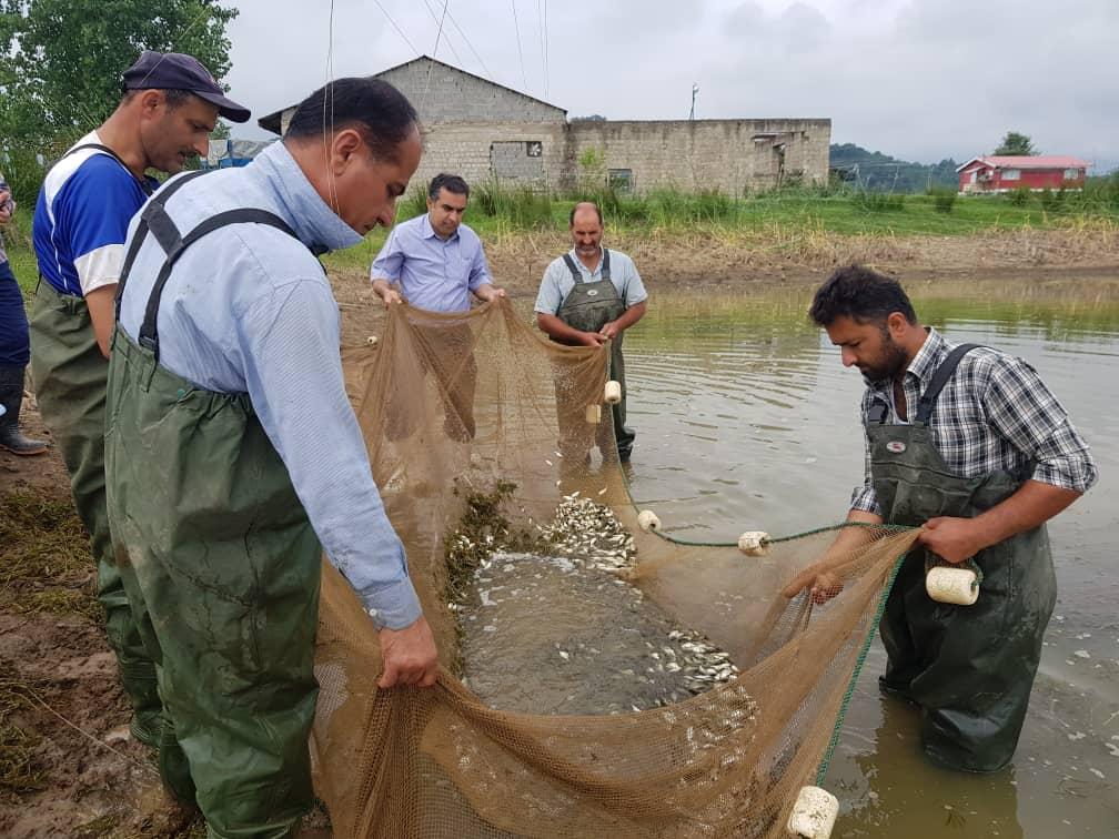 اصلاح نژاد ماهی کپور با همکاری محققان مجارستانی