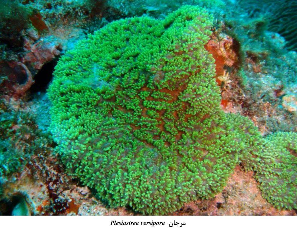 مشاهده دو گونه نادر از مرجانهای سخت در خلیج فارس