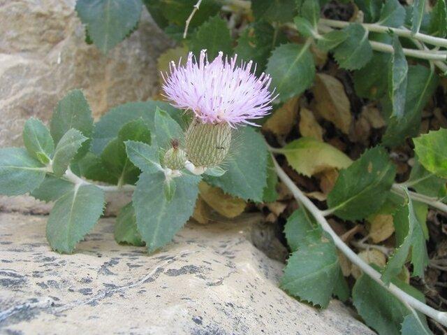 کشف و ثبت جهانی یک گونه گیاهی جدید از تیره گل های آفتابگردان در مسجد سلیمان