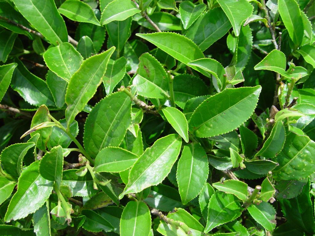 تولید کیت نانومغذی بهبود عملکرد برگ سبز چای با همکاری دو پژوهشکده