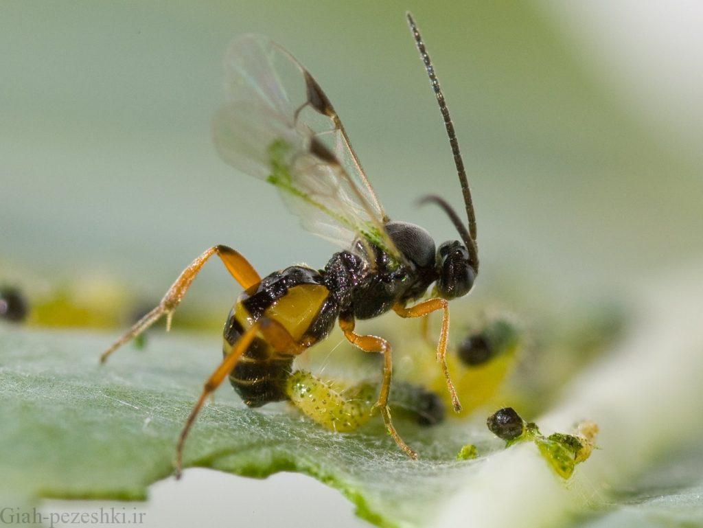 دستیابی به تکنیک پرورش انبوه زنبورهای پارازیتویید شته با همکاری یک دانشگاه ایتالیایی