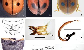 کشف گونه جدیدی از کفشدوزک در یزد