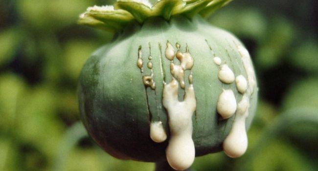 تایید «سرطانزا بودن مصرف تریاک» در آژانس بین المللی تحقیقات سرطان