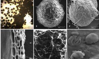 کشف و نامگذاری گونه جدید قارچ اندوفیت