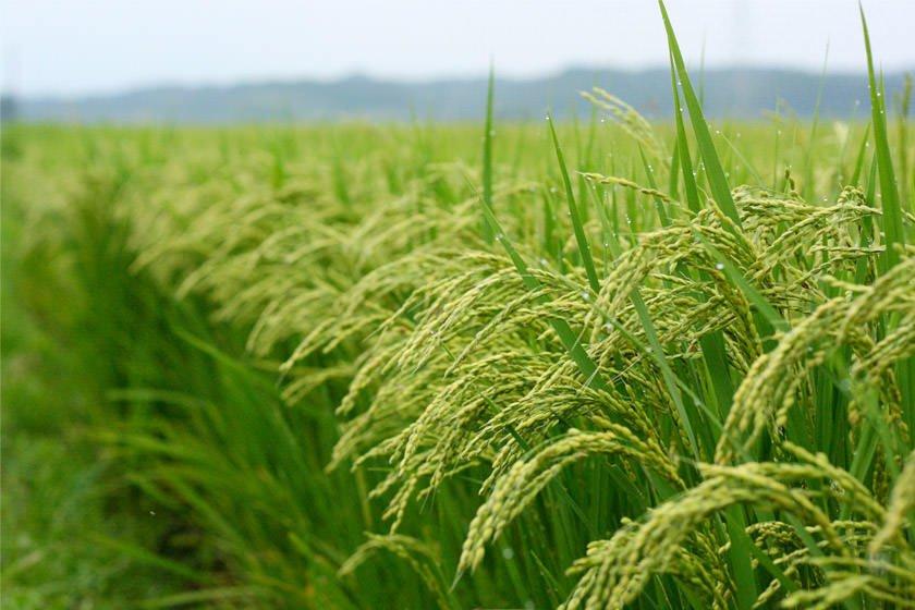 پایان محدودیت غیرقانونی آزمایش میدانی محصولات تراریخته/ کارشکنی وزارت جهاد کشاورزی علیه تولید ملی به رغم واردات گسترده تراریختهها