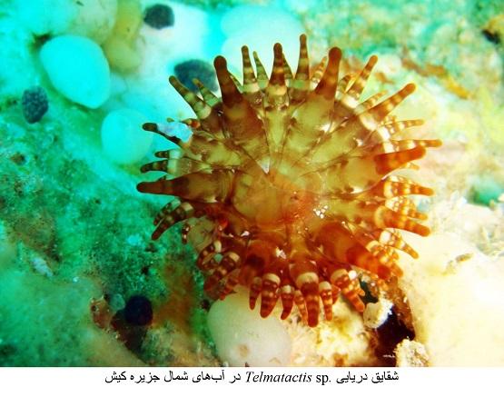 مشاهده گونه جدید شقایق دریایی در خلیج فارس