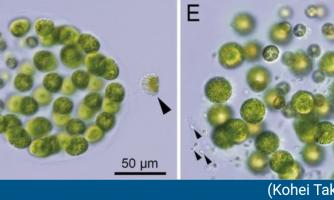 کشف نخستین جلبک سه جنسیتی در ژاپن